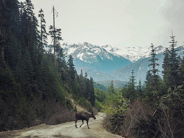 Hurley moose. Photo by Quinn Workun