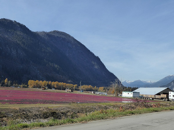 Cranberry Harvest in the Pemberton Meadows