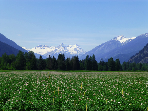 Pemberton Meadows potato crops in flower with the Meager Group behind